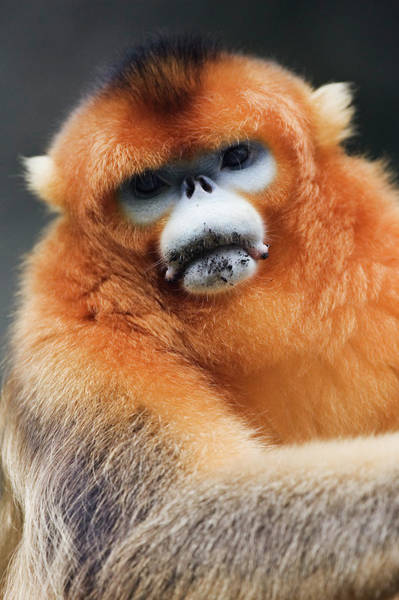 Staring Photograph - China, Shaanxi Province, Golden Monkey by Jeremy Woodhouse