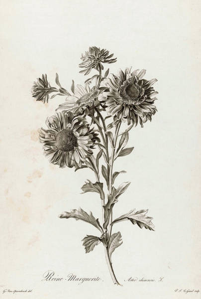 Wall Art - Painting - Chinese Aster, 1801 by Pierre Francois Legrand
