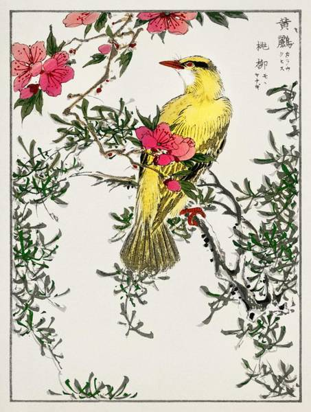 Wall Art - Painting - Chinese Bush Warbler And Drooping Peach IIllustration From Pictorial Monograph Of Birds  1885  By Nu by Celestial Images