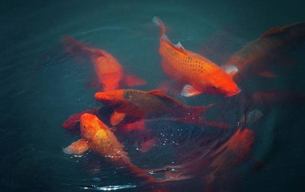 Carp Photograph - Chinese Carps by Blackstation