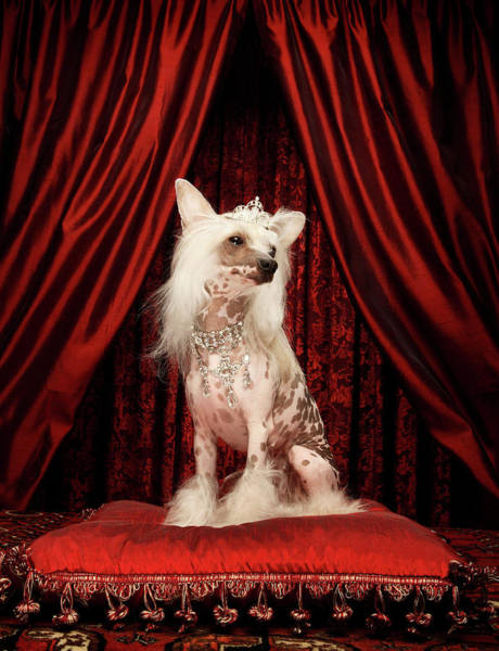 Ugliness Photograph - Chinese Crested Dog Wearing Tiara by Karen Moskowitz