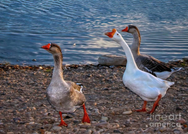 Photograph - Chinese Geese by Janice Pariza