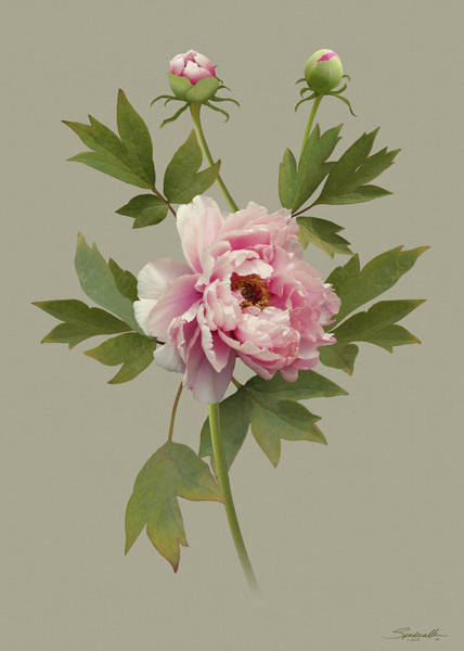 Wall Art - Digital Art - Chinese Pink Peony by M Spadecaller