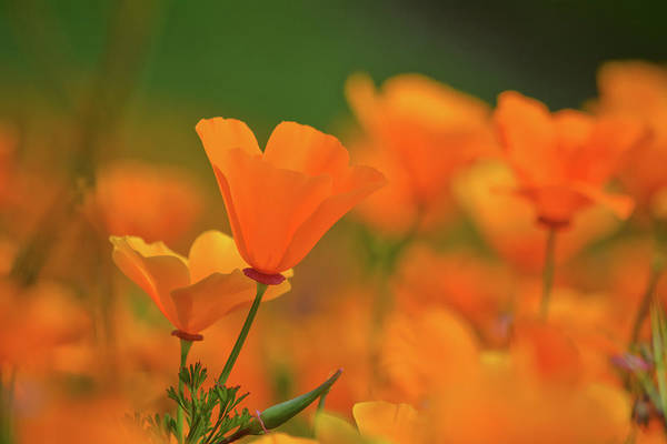 Photograph - Chino Hills Poppies by Kyle Hanson