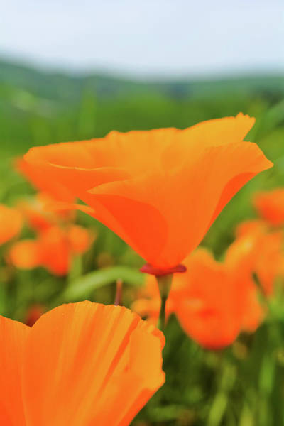 Photograph - Chino Hills Poppy Portrait by Kyle Hanson