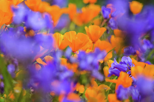 Photograph - Chino Hills Wildflowers by Kyle Hanson