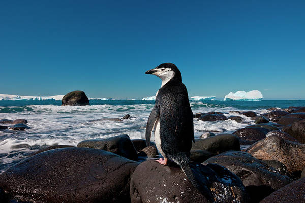 Vertebrate Photograph - Chinstrap Penguin, Penguin Island by Mint Images/ Art Wolfe