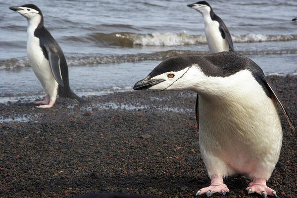 Wall Art - Photograph - Chinstrap Penguin by Tom Norring