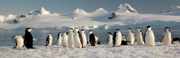 Wall Art - Photograph - Chinstrap Penguins On Half Moon Island by Mint Images - Art Wolfe