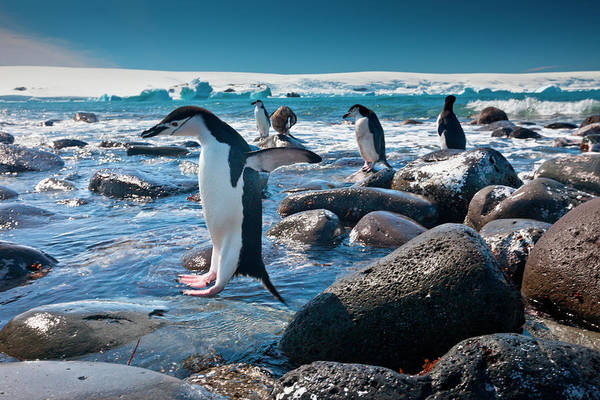 Vertebrate Photograph - Chinstrap Penguins, Penguin Island by Mint Images/ Art Wolfe