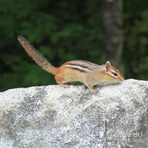 Photograph - Chipmunk 4 by Amy E Fraser