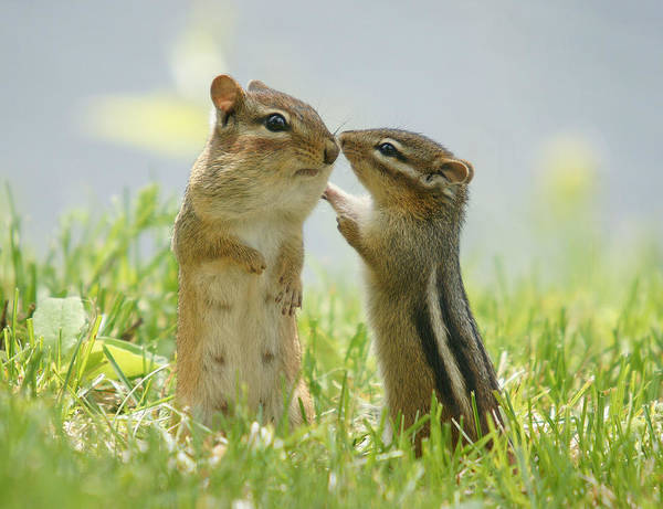 Chipmunk Photograph - Chipmunks In Grasses by Corinne Lamontagne