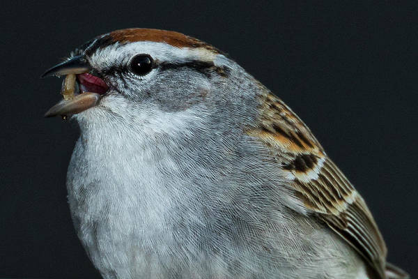 Photograph - Chipping Sparrow 2 by Allin Sorenson