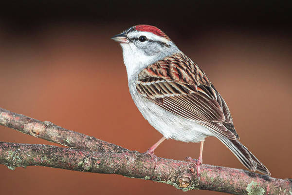 Photograph - Chipping Sparrow by Allin Sorenson