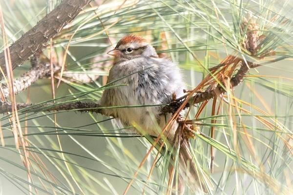 Wall Art - Photograph - Chipping Sparrow Portrait by Mary Ann Artz