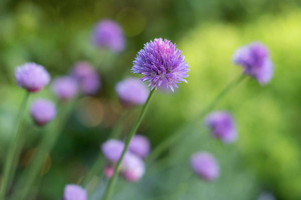 Photograph - Chive Blossoms by Jani Freimann