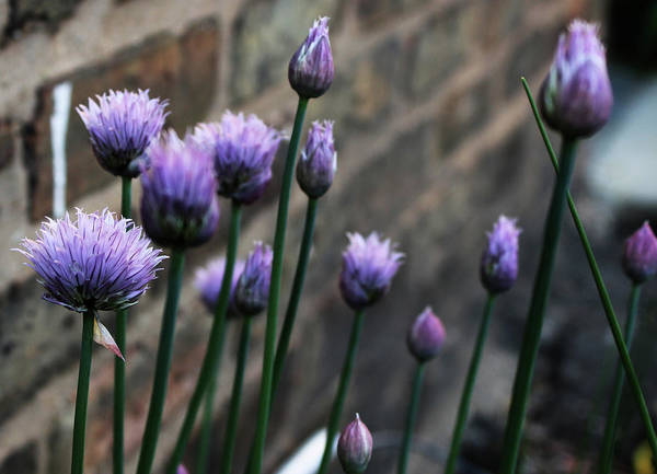 Wall Art - Photograph - Chive Flowers by Photos From William Schoen