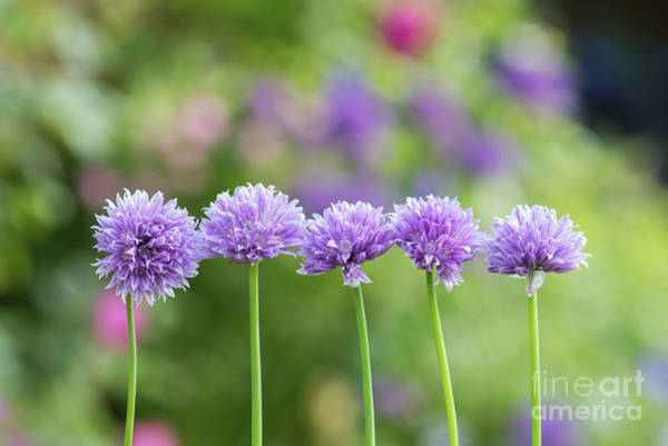Chive Photograph - Chive Flowers by Tim Gainey