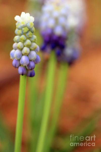 Photograph - Hyacinth In Purple by Natural Abstract Photography