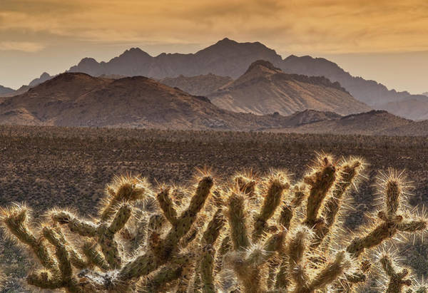 San Bernardino Photograph - Cholla Cacti With Providence Mountains by Witold Skrypczak