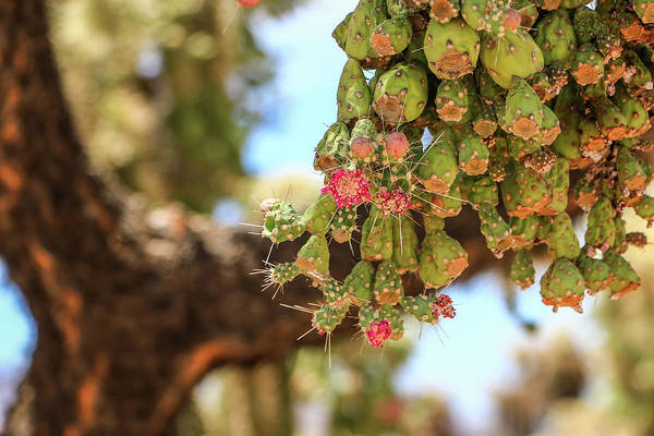 Photograph - Cholla Cactus Blooms by Dawn Richards