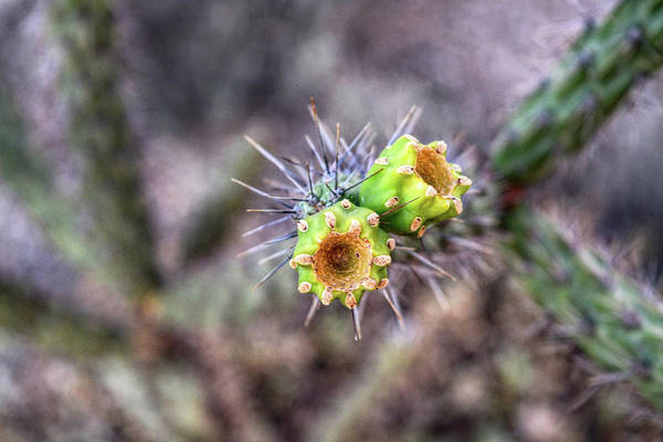 Photograph - Cholla Cactus Fruit  by Chance Kafka