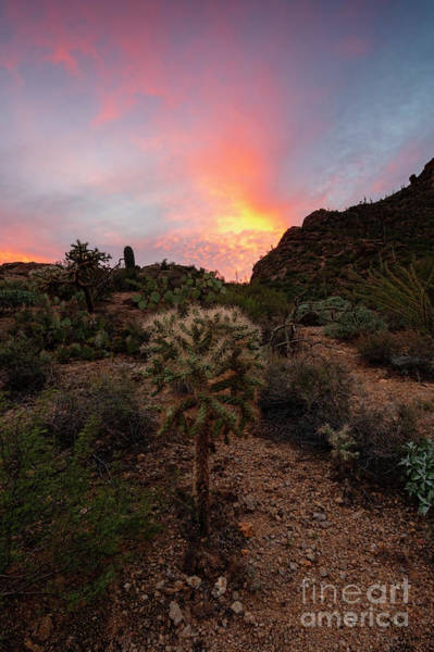 Cholla Sunset Art Print