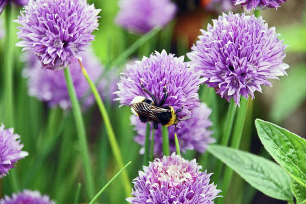 Photograph -   Chorley. Picnic In The Park. Bee In The Chives. by Lachlan Main