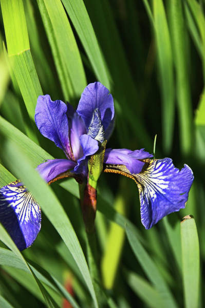 Photograph - Chorley. Picnic In The Park. Walled Garden Iris. by Lachlan Main