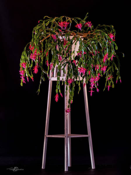 Photograph - Christmas Cactus Plant On A Pedestal by Torbjorn Swenelius