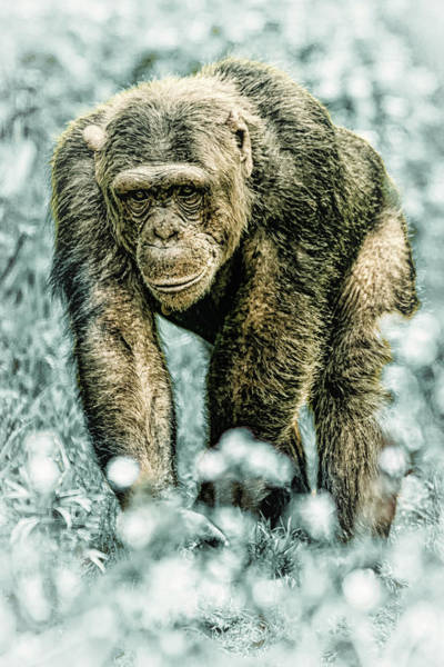 Photograph - Christmas Chimp by Chris Boulton