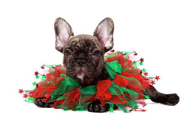 Wall Art - Photograph - Christmas Frenchie Puppy by Mlorenzphotography