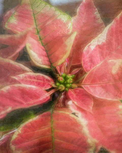 Photograph - Christmas Poinsettia By Tl Wilson Photography by Teresa Wilson