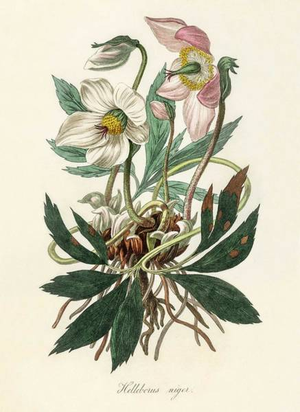Wall Art - Painting - Christmas Rose  Helleborus Niger  Illustration From Medical Botany  1836 By John Stephenson And Jam by Celestial Images