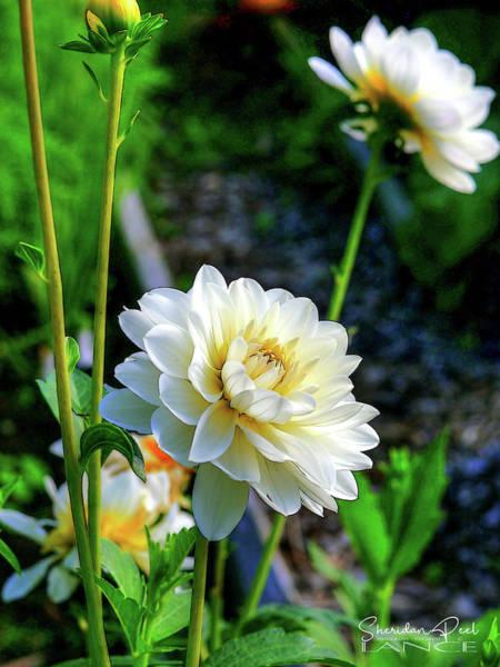 Photograph - Chrysanthemum In Bloom by Lance Sheridan-Peel