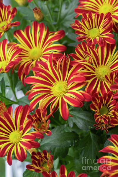 Photograph - Chrysanthemum Indicum Rainbow Circus Flowers by Tim Gainey