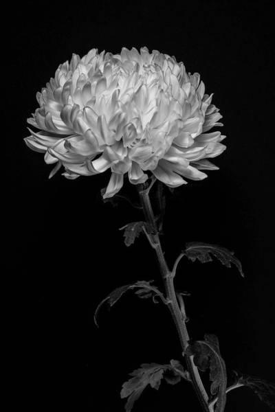 Wall Art - Photograph - Chrysanthemum  by Sandi Kroll
