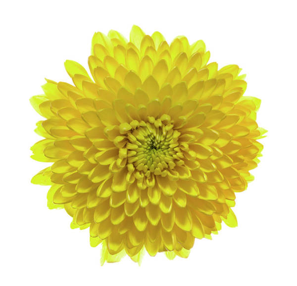 Wall Art - Photograph - Chrysanthemums Or Mums On A White by Panoramic Images