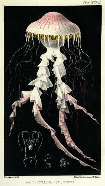 Mixed Media - Chrysaora Cyclonota by Philip Henry Gosse