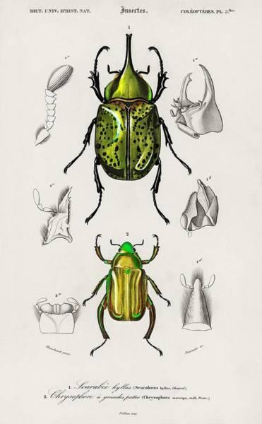Wall Art - Painting - Chrysina Macropus  Chrysophora Macropa  And Eastern Hecules Beetle  Scarabaeus Hyllus Illustrated B by Celestial Images
