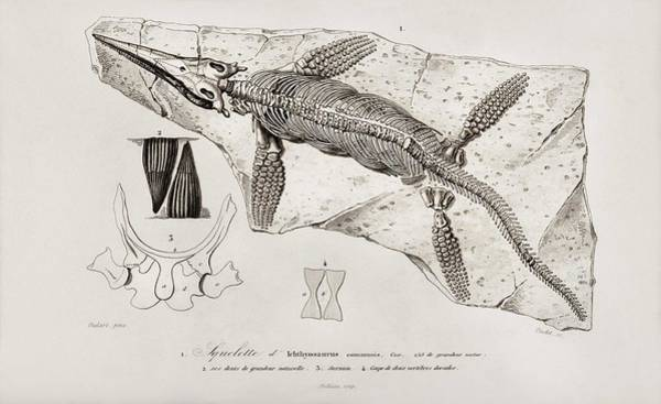 Wall Art - Painting - Chthyosaurus Illustrated By Charles Dessalines D' Orbigny  1806-1876  by Charles Dessalines