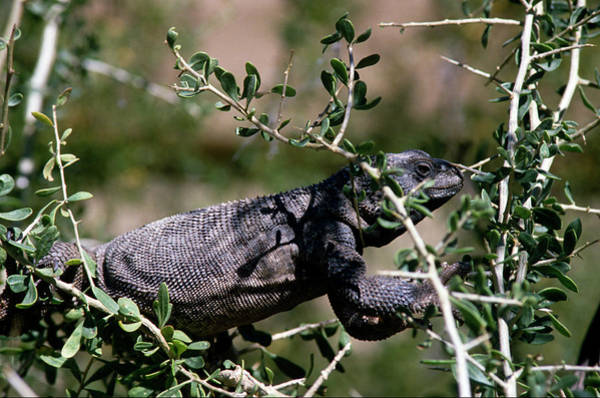 Chuckwalla Photograph - Chuckwalla Lizard In A Thorny Tree Hanging Out - Anim160 00101 by Kevin Russell