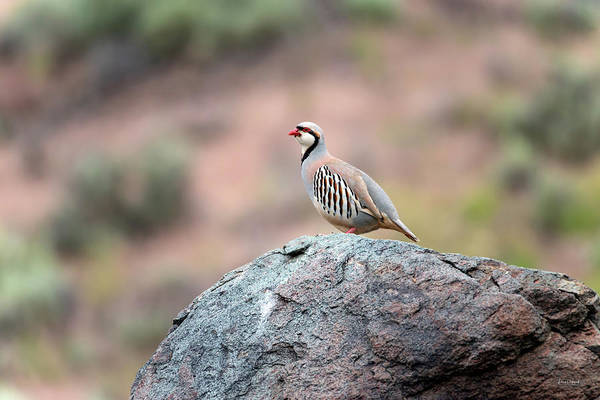Photograph - Chukar Partridge 2 by Leland D Howard