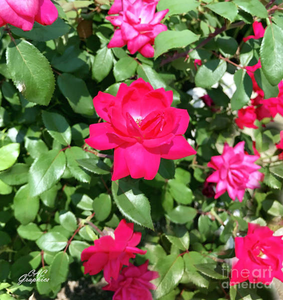 Photograph - Churchill Downs Roses by CAC Graphics