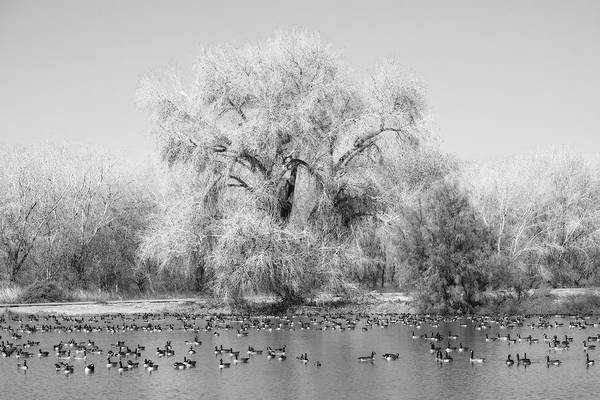 Blythe Photograph - Cibola Geese Black And White by Allan Van Gasbeck