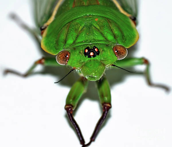 Cicada Wall Art - Photograph - Cicada Eyes by Kaye Menner