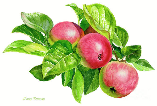 Red Apples Painting - Cider Apples With White Background by Sharon Freeman