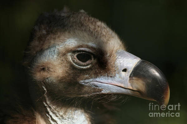 Wall Art - Photograph - Cinereous Vulture Aegypius Monachus by Vladimir Wrangel
