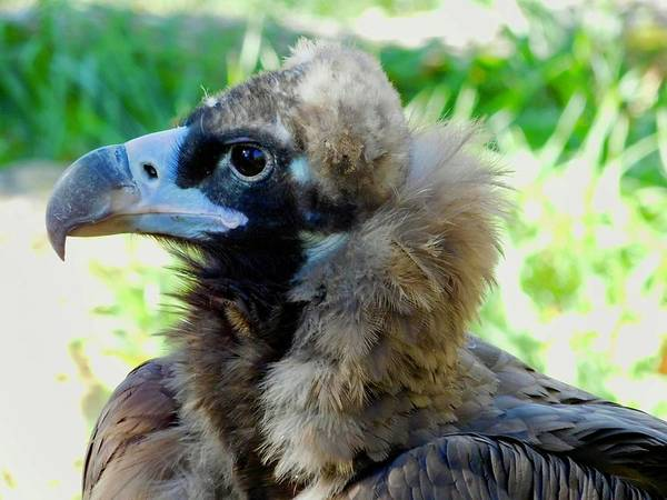 Photograph - Cinereous Vulture by Dan Miller
