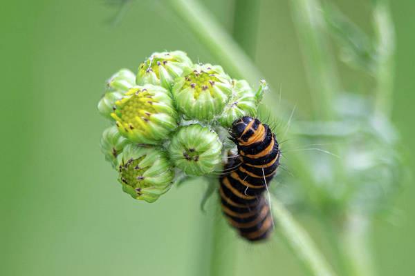 Photograph - Cinnabar Moth Caterpillar On Common Ragwort by Scott Lyons